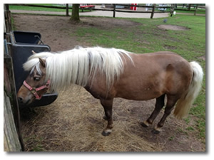 Petting Zoo Pony